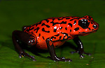 Strawberry Poison Dart or Arrow Frog, Oophaga pumilio, Dendrobates pumilio, Guayacan, Provincia de Limon, Costa Rica, Amphibian Research Center, on leaf, tropical jungle, South America, red with black patterned arms and legs.Central America....