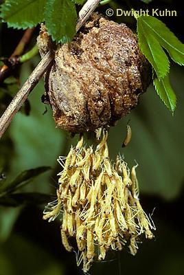 1M05-040z  Praying Mantis nymphs emerging from egg case - Chinese Praying Mantis - Tenodera aridifolia sinensis