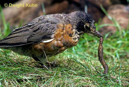 RO07-004z   American Robin - young catching prey, a  worm - Turdus migratorius