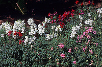 Snapdragons (Antirrhinum), showing red, pink, and white flowered forms.