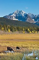 Cow and calf moose feed along the grasses near Bear lake, Chugach National Forest, Kenai Mountains, Kenai Peninsula, southcentral, Alaska.