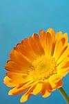 Beautiful orange daisy Gerbera flower close-up Isolated on blue background