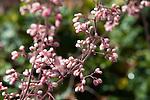 Heuchera, Coral Bells or Coralbells (common name) at the Santa Barbara Botanic Garden; Santa Barbara; Santa Barbara County; California; CA; USA