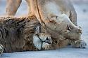 Botswana, Okavango Delta, Moremi; lion mating pair cuddling