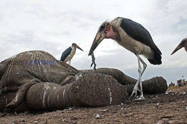 Marabou Storks (Leptoptilos crumeniferus) feeding on an Elephant carcass, Maasai Mara National Reserve, Kenya.