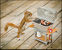 "BNPS.co.uk (01202 558833).Pic: NancyRose/BNPS..***Please Use full byline***..Ready for my close-Nut!..A group of wild squirrels have been snapped posing with human objects for a hilarious set of adorable photographs...Nancy Rose, 58, was inspired to take the quirky images when she spotted a squirrel sitting on top of a pumpkin she had left in her garden...She began building her own 'props' for the creatures to interact with, and left miniature items outside surrounded by nuts on her garden decking to entice them closer...She created a tiny washing machine, tumble dryer, hats, coats, musical instruments, easel and paint pallette, a boat and a fire place and waited for the animals to visit...The inquisitive squirrels have gradually learnt that they find nuts if they pick up or look inside the items, and have started frequenting the garden more often...Nancy patiently waits with her camera and takes more than 100 frames of each squirrel as they move incredibly fast...Nancy, a school counsellor from Nova Scotia in Canada said: ""My squirrel pictures started almost by accident."