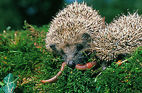 European Hedgehogs (Erinaceus europaeus) eating an Earthworm, Normandy, France