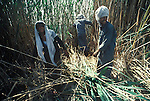 Marsh Arabs. Southern Iraq. Circa 1985. Marsh Arab men cutting reeds.