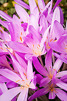 Colchicum autumnale (autumn crocus), lilac flower summer bulb