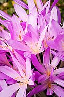 Colchicum autumnale (autumn crocus), lilac flower summer bulb