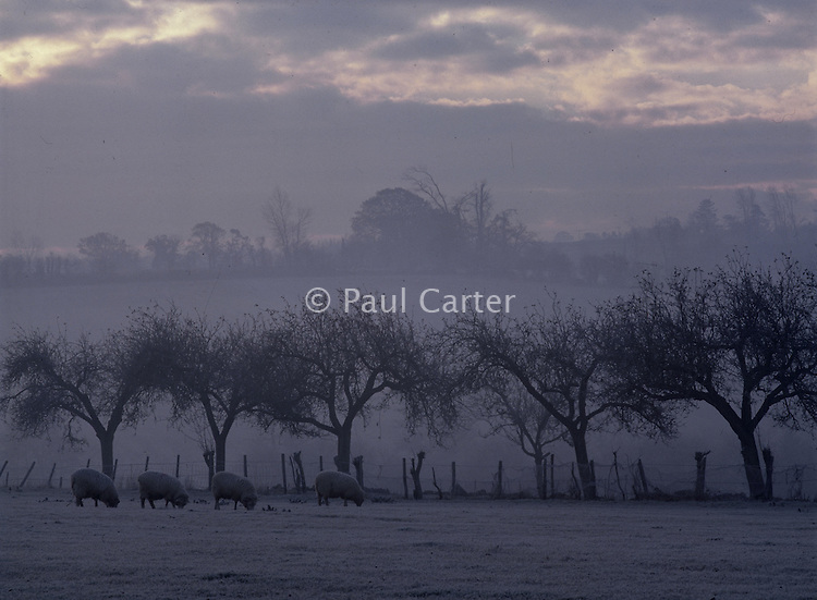 Sheep grazing on snow covered fields. Taken at dawn