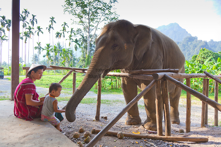 Elephant Hills Luxury Tented Camp in the rainforest in Southern Thailand. The Elephant Experience which offers an opportunity to interact, feed and wash the endangered Asian Elephant.  A mahout and his son feed an elephant.