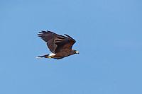 541950105 a wild harris hawk parabuteo unicinctus in flight over santa clara ranch starr county texas