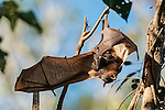 Little red flying fox with baby attached
