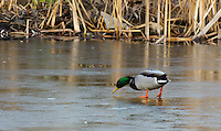 Photograph of a different duck species looking for water as this pond is starting to freeze over.