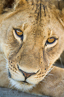 Lioness, Serengeti National Park, Tanzania, East Africa, Serengeti National Park, Tanzania, East Africa