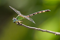385280006 a rare wild female blue-faced ringtail dragonfly erpetogomphus eutania  feeding on insect prey near the guadelupe river independence park gonzales county texas