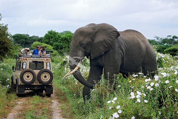 Large African Elephant bull passes near a Landrover.  Africa.
