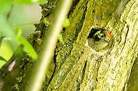 Lesser spotted woodpecker chick (Dendrocopos minor) in nest hole. Surrey, UK.