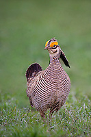 572110241 a wild lesser prairie chicken tympanuchus pallidicintus displays and struts on a lek on a remote ranch near canadian in the texas panhandle