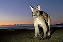 Australia, NSW, Murramarang National Park, Eastern gray kangaroo on beach at dawn, looking into camera