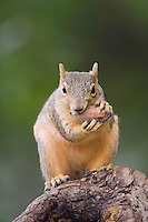 Eastern Fox Squirrel, Sciurus niger, adult on tree eating Pecan, Uvalde County, Hill Country, Texas, USA
