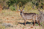Africa, Kenya, Meru. Male Ellipsen Waterbuck of East Africa.