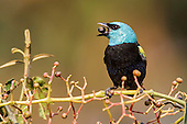 Blue-necked Tanager (Tangara cyanicollis), Manu National Park, Peru.