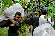 A young Colombian worker carrying a bunch of crude bananas on the banana plantation in Aracataca, Colombia, 14 March 2006. Eighty percent of the exported bananas in the world are grown in Latin America. Local farms have no other alternative than to sell for a price offered by the multinational company. When working conditions and ecology is in question, the corporations do not have any responsibility as they do not own plantations. Local governments in the attempt of organizing banana export provide low duty taxes on export, they try to eliminate social and enviromental politics to attract the big companies to their countries.