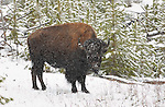 Bison in the Snow, Gibbon River, Yellowstone National Park, Wyoming