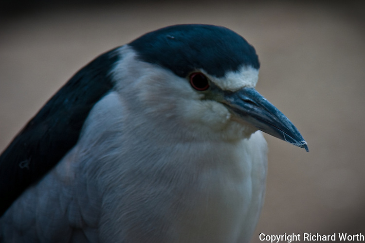 Lake Merritt and its bird refuge in Oakland is home, even if temporarily, to a wide variety of birds including this Black-crowned night heron.