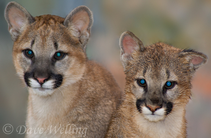 656320007 captive wildlife rescue mountain lion cubs wichita a male and zuna a female felis concolor at the wildlife waystation wildlife recovery and care facility in southern california