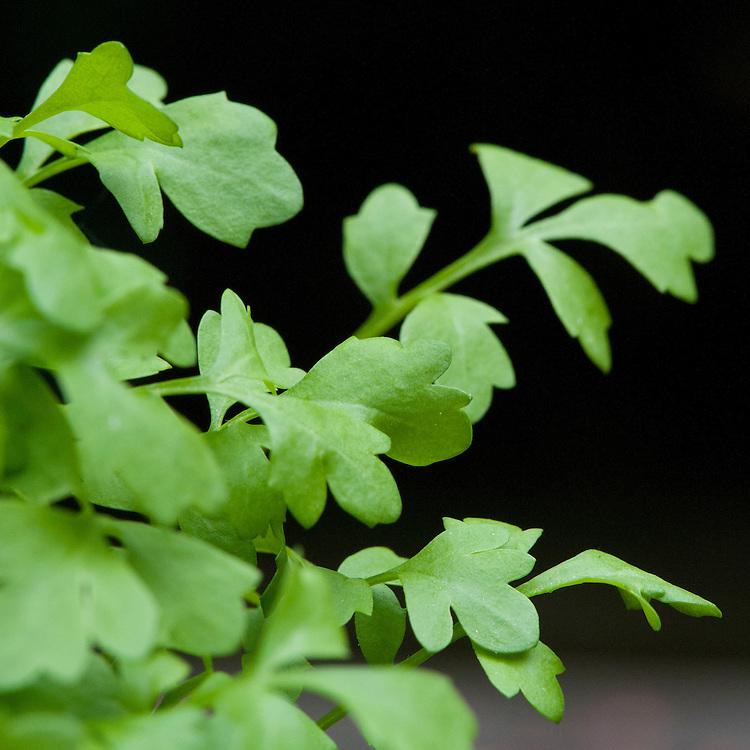 Greek cress (Lepidium sativum), sometimes also known as garden cress, pepper cress, or pepperwort.