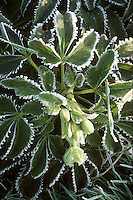 Frost on plant in winter, perennial foliage plant Helleborus argutifolius hellebore