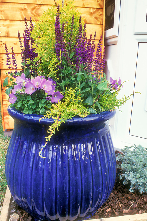 Big Shiny blue pot container garden with perennial plants Salvia Campanula  on wood mulch  Container. Big Garden Pot