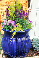 Big Shiny blue pot container garden with perennial plants Salvia & Campanula on wood mulch, container garden with gold evergreen yew shrub, house wall, in blue, purple and yellow color theme