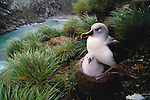 Gray-headed albatross and chick, South Georgia Island, UK