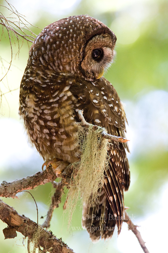 northern spotted owl research paper