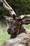 Bull elk, Yellowstone National Park, Wyoming