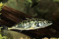 Dreistacheliger Stichling, Dreistachliger Stichling, Gasterosteus aculeatus, three-spined stickleback