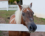 The horses in the stables around DeVault Family Vineyards came to see if we would feed them.