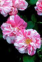 Rosa gallica Versicolor aka Rosamundi (Striped Apothecary Rose, jumping genes, heirloom), stripes red pink and white
