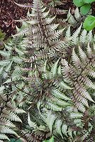 Athyrium nipponicum var pictum Japanese painted fern shade groundcover