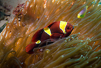 Andaman and Nicobar Islands, India, April 2008. Andaman anemone fishWith Barefoot Scuba we dive the colourful coral reefs surrounding the islands and see a mulitude of fish. The remote Andaman Islands are an upcoming eco tourism and active adventure destination. Photo by Frits Meyst/Adventure4ever.com