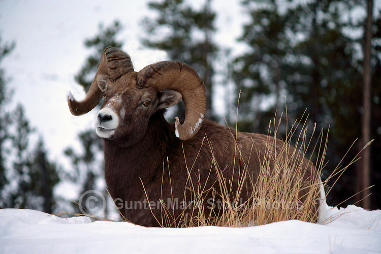 One Rocky Mountain Bighorn Sheep Ram (Ovis canadensis), Jasper National Park, Canadian Rockies, AB, Alberta, Canada, Winter