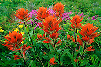 Indian Paintbrush (Castilleja ?).  Pacific Northwest.  June.
