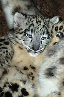 654403037 a young snow leopard cub panthera uncia lays on its back against a large log in its enclosure in a zoo - species is highly endangered in the wild - species is native to the high steppes of central asia