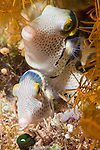 Anilao, Philippines; a male/female pair of Black-saddled Toby (Canthigater valentini) fish laying and fertilizing eggs in a nest