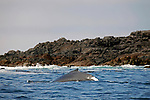 North America, Canada, British Columbia, Vancouver Island. Humpback Whale in the waters of the Broken Group Islands.
