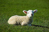 New Zealand spring lamb looking at camera. Sitting on green grass.